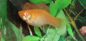 Hona i grundfärg albino