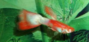 albino-apw-red