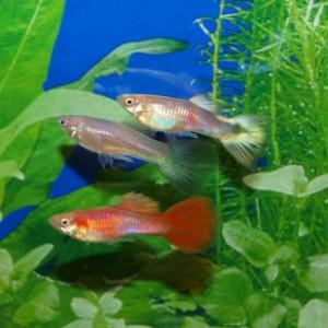 Bilden visarhur asian blue fungerar. De tre fiskarna är ur samma kull. Den röda fisken saknar anlaget, den översta fisken har anlaget i enkel upplaga och visar då nästan inget rött. Fisken i mitten bär asian blue anlaget i dubbel upplaga resultatet blir då en grå och trist fisk.