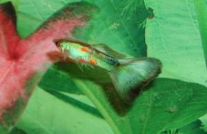 """En grön guppy från zoobutik, är troligen inte """"äkta"""" grön men ni får en känsla av hur en grön kan se ut."""
