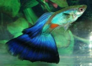Lazuli triangel.