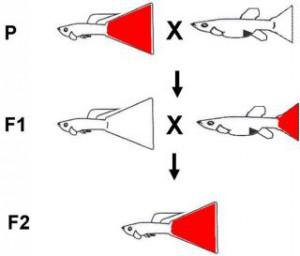 """En X-bunden röd stjärtfena hos hanen i P-generationen och han paras med en hona från en annan stam med """"tomt X"""". I F1-generationen kommer alla hanarna att att få moderns tomma X:s medan honorna kommer att fåett X från vardera föräldern. I F2-generationen kommer det att bli två sorters hanar, de utan färgsaknas på bilden men ser ut som hanen i F1,och de kommer att utgöra 50% om man parar syskonen i F1."""